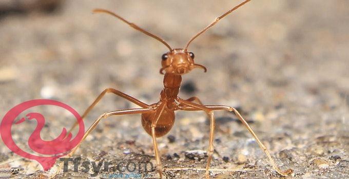 النمل في المنام للعزباء