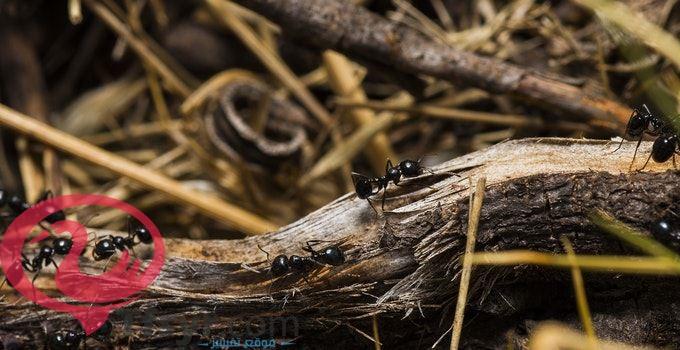 رؤية النمل في المنام على الفراش