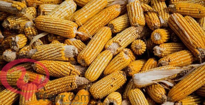 اكواز الذرة في المنام