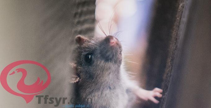 الفأر في المنام للحامل