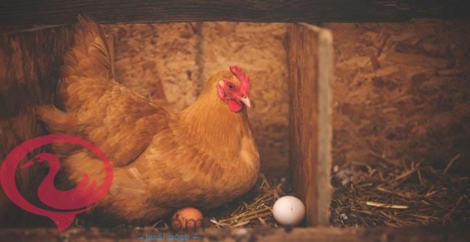 رمي البيض في المنام