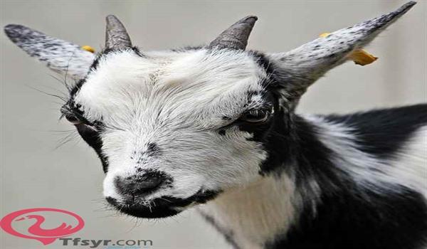 تفسير حلم ولادة الماعز في المنام