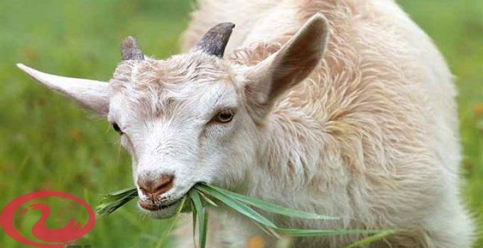 تفسير رؤية الماعز في المنام للعزباء والمتزوجه