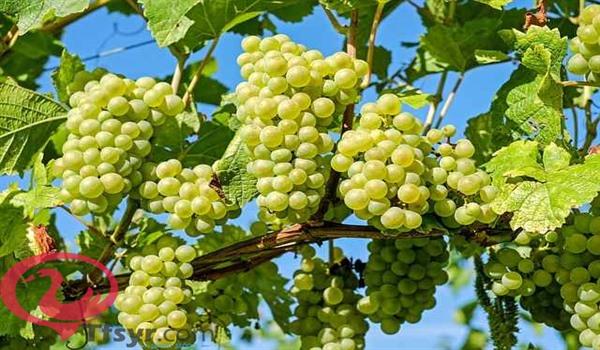 العنب في المنام للحامل