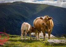 تفسير رؤية البقرة في المنام للامام الصادق