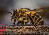 تفسير رؤية النحل في المنام للامام الصادق